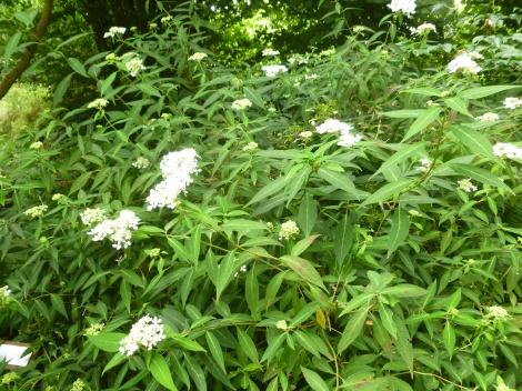 P1060431 H. serrata ssp angustata