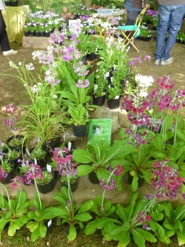 Stall of calendebra primroses